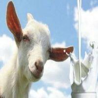Чем так полезна косметика на основе козьего молока